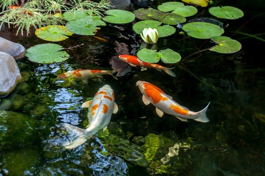 What Is A Koi Fish?